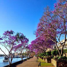 Jacarandas along the Brisbane River, Brisbane, Queensland, Australia