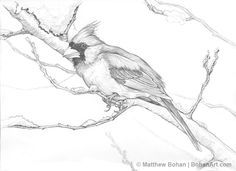 Northern Cardinal Pencil Sketch