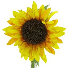 Large Yellow Sunflower Stem