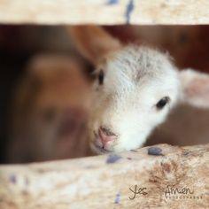 baby sheep :)