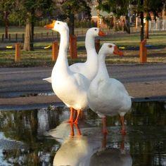 greylag goose / ansar común (anser anser) | bauernhof / haustiere, Innenarchitektur ideen