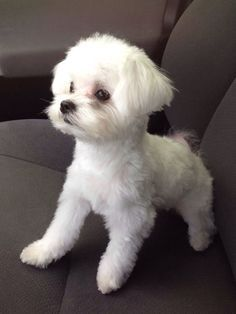 Brooklyn the cutest Maltese! Cute Puppies, Cute Dogs, Dogs And Puppies, Doggies, Animals And Pets, Baby Animals, Cute Animals, Baby Cats, Dog Haircuts