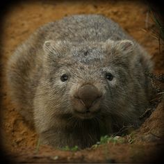 A wombat, just being cute