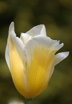 ❥‿↗⁀simply-beautiful-world flowersgardenlove:  Tulip Flowers Garden Love❤️