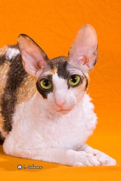 Cornish Rex cat. Someday :)