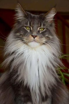 Maine Coone http://www.mainecoonguide.com/characteristics/