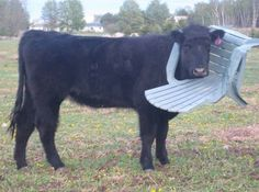 This cow has no feelings towards his chair necklace. | There's A Facebook Page About Animals Getting Stuck In Objects And It's Gold