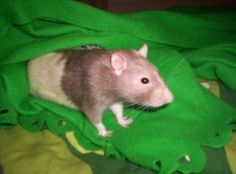 Rats are intelligent, fun, energetic, mischevious, naughty, cuddly and cute. They are also very smart and can pick up basic training very quickly. It's loads of fun to train your little fuzzball and your rat will love it too.   Here's the fun...