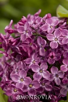 Monrovia's Declaration Lilac details and information. Learn more about Monrovia plants and best practices for best possible plant performance.