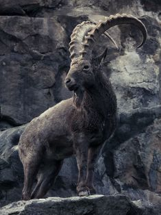 Ibex particular variety beyond my knowledge. Found in parts of Europe like Spain, Northern Africa, Atlas mountains and the Middle East, Iran. Animals With Horns, Animals And Pets, Cute Animals, Beautiful Creatures, Animals Beautiful, Ibex Goat, Big Horn Sheep, Les Religions, Majestic Animals