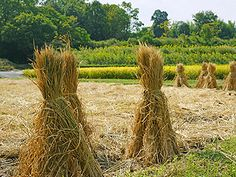 Japanese Projects for Bioethanol Production from Rice Straw
