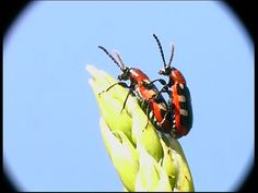 The common asparagus beetle (Crioceris asparagi) is an important pest of asparagus crops both in Europe and in North America. Asparagus is its only food plant. The beetle is about half a centimeter long, metallic blue-black in color with cream or yellow spots on its red-bordered elytra. The larvae are fat gray grubs with dark heads.  The adult beetles and the larvae strip the needle-like leaves off the asparagus fronds, depriving the plants of the ability to photosynthesize and store energy…