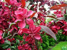 Prunus, Lombok, Travel List, Garden, Garten, Pack List, Lawn And Garden, Gardens, Peach