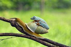 Languid Tree Frog Hitches A Ride On The Back Of An Accommodating Snail On A Hot Indonesian Day