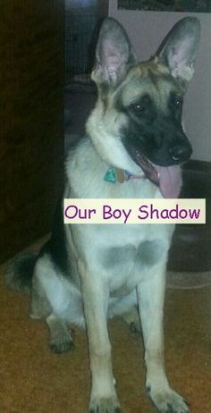 GSD-Shadow who is now 11 months old.