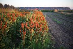Succession Planting: How To Keep The Harvest Going All Season Long - Floret Flowers Growing Flowers, Cut Flowers, Flower Farm, Flower Pots, Succession Planting, Tomato Garden, Seasonal Flowers, Organic Farming, Horticulture