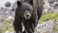 Guide de survie : que faire face à un ours?