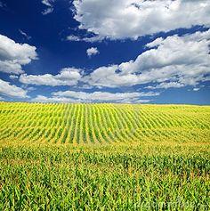 Play Hide and go Seek in a Corn Field