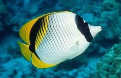 Image result for lined butterflyfish