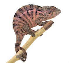 Panther Chameleon - Furcifer Pardalis - Ambanja Local - Female