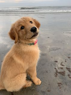 Watching the waves (Old Orchard Beach, Maine) #goldenretriever