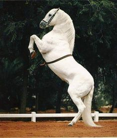 Nope, not a Lipizzaner. Spain's Andalusian Pura Raza Española performs Haute ecole airs above the ground also. Pretty Horses, Beautiful Horses, Zebras, Lippizaner, Hunting Outfitters, Animals And Pets, Cute Animals, Andalusian Horse, Friesian Horse