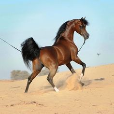 QR Marc (Marwan Al Shaqab {Gazal Al Shaqab x Little Liza Fame by Fame VF} x Swete Dreams {Magic Dream CAHR x Kouream De Ment by Kouros} 2005 bay stallion. Bred by Vicki & Lou Doyle, USA