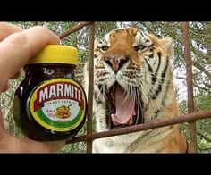 Do Tigers Like MARMITE Funny Animal Videos, Funny Animals, Cute Animals, Big Cat Rescue Tampa, Animal Rescue Stories, Marmite, Big Cats, Funny Cats, Cat Lovers