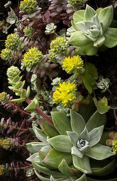 Stonecrop sedum growing on the coastal cliffs, California | David Cobb