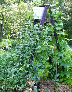 Using vines as a focal point in your vegetable garden and increasing the growing space going vertical.
