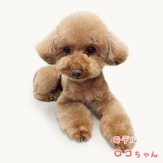 Poodle Mix, Art Drawings, Toy Poodles, Teddy Bear, Toys, Hair Style, Artwork, Animals, Vintage