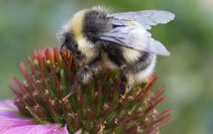 The pleasure of seeing my first bumblebee of the year was blighted by the plague. She looked as beautiful as I felt beastly. A giant black fuzzy bumble haphazardly zig-zagging up the street towards...