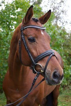Horses for sale - Feniksas-Star - Ridehesten.com