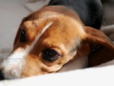 Beagles, Crates, Dogs, Animals, Animales, Animaux, Pet Dogs, Beagle, Doggies