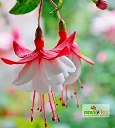 These look like 'Swingtime' fuchsias, my utmost favorite of all the fuchsia cultivars.