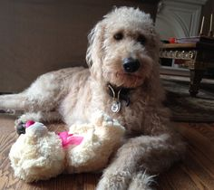 Harry Howard Doodle the Labradoodle thinking he should be on the cover of Vanity Fair