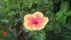 Hibiscus (Penonomé) Lugar: Icacos