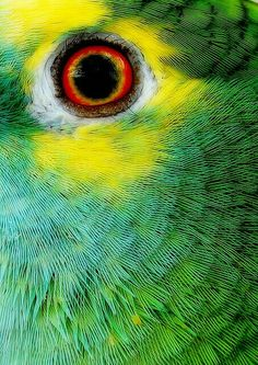 The Eye of the Parrot Tropical Birds, Exotic Birds, Colorful Birds, Beautiful Eyes, Beautiful Birds, Animal Close Up, Eye Close Up, Budgies, Parrots