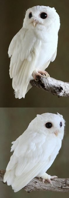 """""""Leucistic Eastern Screech-Owl (Megascops asio)   Leucism is a result of defects in pigment cell differentiation in skin, hair, or feathers during development. Leucism can cause the reduction in all types of pigment. This is in contrast to albinism, for which leucism is often mistaken. Albinism results in the reduction of melanin production only, albinos are a pale yellow color and red eyes whereas leucistics are white and have normally colored eyes."""""""