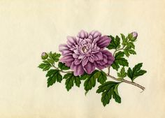 Hibiscus syriacus -- Asian and Oriental Art -- RHS Prints