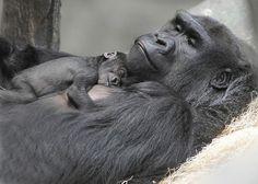 Gorilla mãe Koola descansando com seu recém-nascido dorme em seu peito a Brookfield Zoo de Chicago
