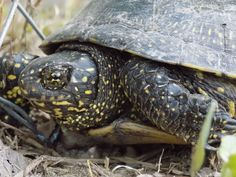 'Turtle' by linnastu Turtle, Animals, Turtles, Animales, Animaux, Tortoise, Animal, Animais