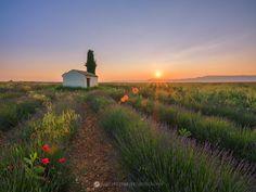 Lavender at sunrise, Provence, France.