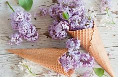 Lilac Waffle Cones Flowers