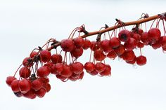 Veryberry by Walter Wiliams on Capture Wisconsin // Sparkle berry, winter berry do they ever go away?