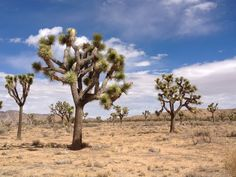 Joshua Tree National Park! This place is amazing!