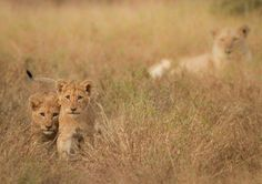 Singita Kruger National Park Wildlife Report May 2013