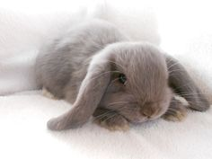 Reserved Pure Bred Lilac Self Baby Boy Mini Lop - Photo 1