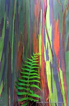 Oahu---Botanical Garden! Hawaii Trip Bucket List # 15---> I really, really, really want to see a rainbow eucalyptus tree!