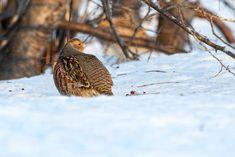 Bird, Photography, Partridge, Animaux, Photograph, Birds, Fotografie, Photoshoot, Fotografia